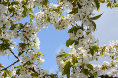 Flowering branch in the spring garden. Flowering branch of a tree in spring with white flowers on blue sky background Stock Photos