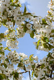 Flowering branch in the spring garden. Flowering branch of a tree in spring with white flowers on blue sky background Stock Images