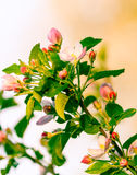 Flowering branch Royalty Free Stock Image