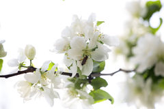 Flowering branch of tree Royalty Free Stock Images