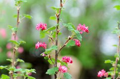 Flowering branch, tree with pink blossoms and green leaves on a blurry pastel background Royalty Free Stock Photography