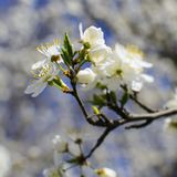 Flowering branch tree symbol of the coming spring stock photography