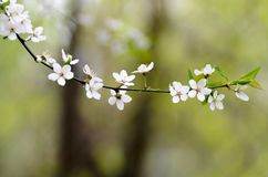 Flowering branch, tree with white blossoms and green leaves on a blurry pastel background Royalty Free Stock Images