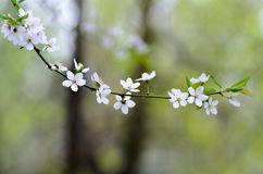 Flowering branch, tree with white blossoms and green leaves on a blurry pastel background Stock Image