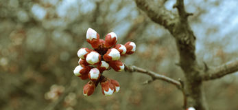 Flowering branch of a tree. With white buds Royalty Free Stock Photography