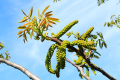 Flowering branch of walnut Royalty Free Stock Images