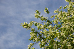 Flowering branch. Flowering branch of  white blossoms Royalty Free Stock Photos
