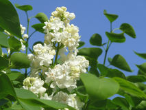 Flowering branch 5. Branch of white lilac, blooming under the gentle sun Royalty Free Stock Image