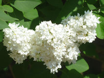 Flowering branch 6. Branch of white lilac, blooming under the gentle sun Stock Photos