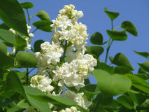 Flowering branch 4. Branch of white lilac, blooming under the gentle sun Stock Photos