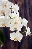 Flowering branch of white orchids. Royalty Free Stock Photography