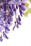Flowering branch of wisteria, on white, detail Stock Photo