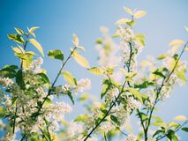 Flowering branches  Stock Images