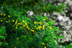 Flowering branches of acacia Stock Photography