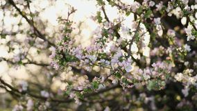 Flowering branches of apple tree stock video footage