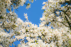 Flowering branches Royalty Free Stock Photography