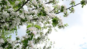 Flowering branches of apple trees against sky stock footage