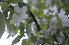Apple trees flowers. the seed-bearing part of a plant, consisting of reproductive organs that are typically surrounded. Flowering branches of Apple trees in a stock photo