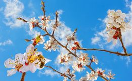 Flowering branches of an apricot tree and bee close-up. Flowering branches of an apricot tree on the background of a blue sky and bee close-up. Selective focus royalty free stock photos