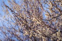 Flowering apricots against a bright blue spring sky. Stock Image