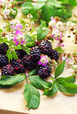Flowering branches of blackberries Royalty Free Stock Photos