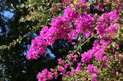 Flowering branches of bougainvillea Royalty Free Stock Images