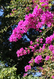 A flowering branches of bougainvillea Royalty Free Stock Images