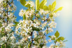 Flowering branches of Cherry on blue sky background at Sunny spring day, copy space. Floral tree blurred closeup summer nature leaf bloom focus garden macro stock images