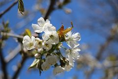 Flowering branches of cherry  in May stock photos