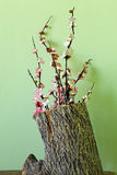 Flowering branches of cherry (sakura) grow out of an old tree Royalty Free Stock Image