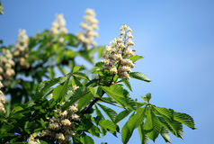 Flowering branches of chestnut Stock Photos