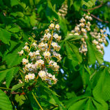Flowering branches of chestnut Royalty Free Stock Photos