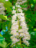 Flowering branches of chestnut (Aesculus hippocastanum) Stock Photography
