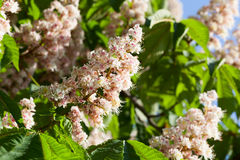 Flowering branches of chestnut Royalty Free Stock Images