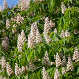 Flowering branches of chestnut Stock Images