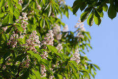 Flowering branches of chestnut Royalty Free Stock Image