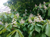Flowering branches chestnut among green leaves Stock Photo