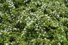 Flowering branches of Cotoneaster horizontalis in spring Royalty Free Stock Image