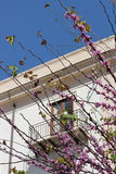 Flowering branches. Detail of some flowering branches with a classical building as background, palermo , sicily, portrait cut Royalty Free Stock Photography