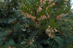 Flowering branches of European yew in spring Stock Photography