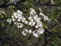 Flowering Royalty Free Stock Photo
