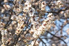 Flowering branches of fruit trees against the blue sky royalty free stock image