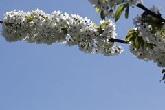 Flowering branches of fruit trees Royalty Free Stock Image