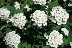 Flowering branches of germander meadowsweet Stock Photos