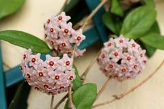 Flowering branches of Hoya Carnosa Stock Photo