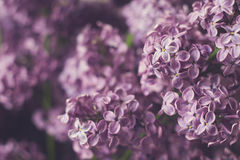 Flowering branches of lilac Royalty Free Stock Photos