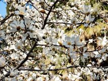 Flowering branches of magnolia cobus royalty free stock photography
