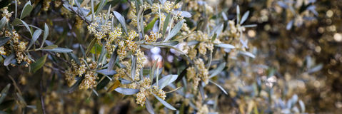 Flowering branches of olive tree. Stock Photography