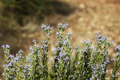 Flowering branches of rosemary Royalty Free Stock Photography