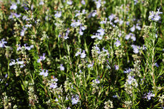 Flowering branches of rosemary Royalty Free Stock Photo